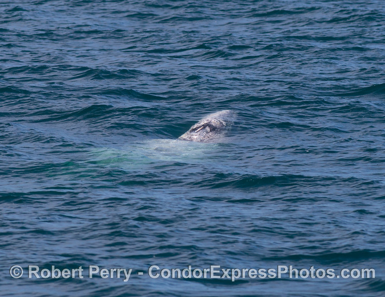 A gray whale (<em>Eschrichtius robustus</em>), just beneath the surface, is coming up to breath.