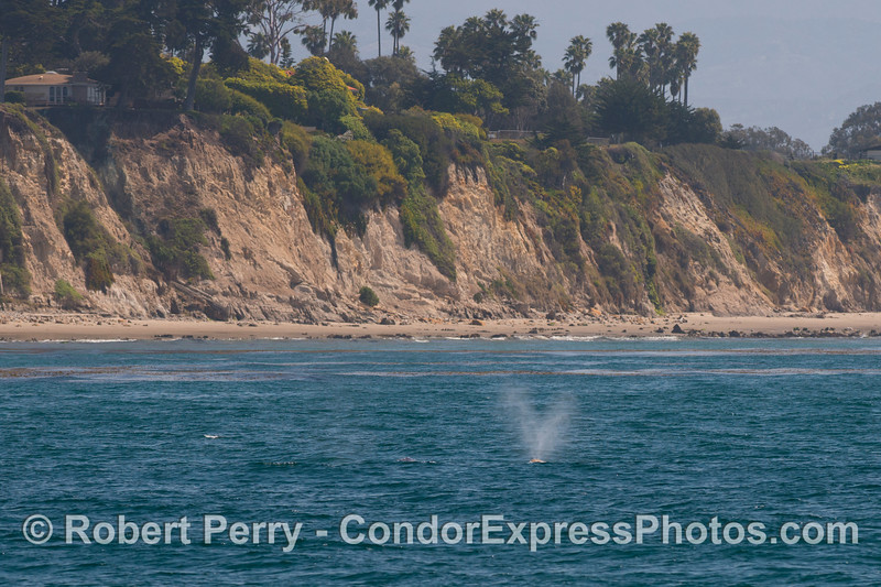 The seacliffs, beach and nearshore kelp beds frame this spouting gray whale (<em>Eschrichtius robustus</em>).
