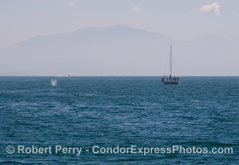 "Passengers aboard the ""Double Dolphin"" catamaran enjoy a great view of a gray whale (<em>Eschrichtius robustus</em>)."