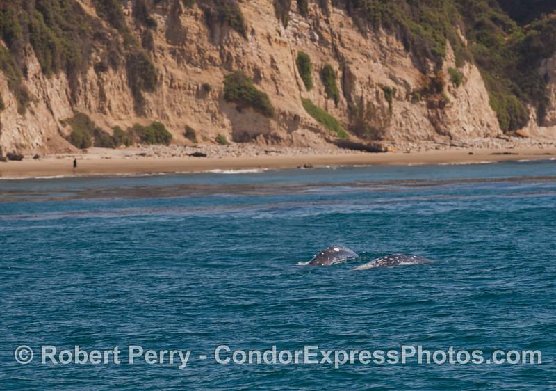 Two gray whales (<em>Eschrichtius robustus</em>) along the shore.