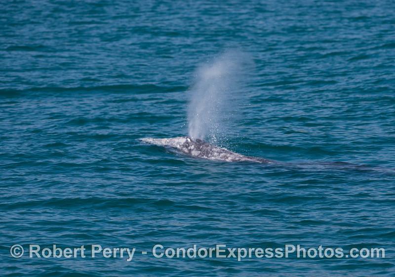 A mighty gray whale (<em>Eschrichtius robustus</em>) spout.