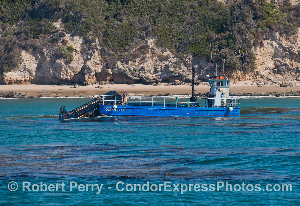 """The kelp harvesting vessel """"Ocean Rose"""" at work along the giant kelp beds (<em>Macrocystis pyrifera</em>) off the Santa Barbara coast.  The """"Ocean Rose"""" and its sister ship """"Ocean Harvest"""" gather kelp to feed abalones (<em>Haliotis</em> sp.) being farmed at Cayucos, California.  This is the only reason kelp is harvested these days."""