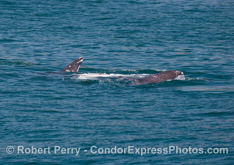 This gray whale (<em>Eschrichtius robustus</em>) rolls around in response to some pesky bottlenose dolphins (<em>Tursiops truncatus</em>).