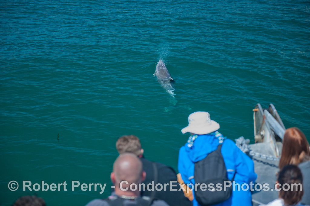 Whale watchers on board the Condor see a bottlenose dolphin (<em>Tursiops truncatus</em>).