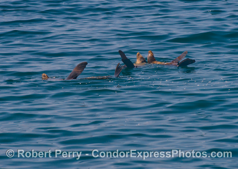 Three rafting California sea lions (<em>Zalophus californianus</em>).