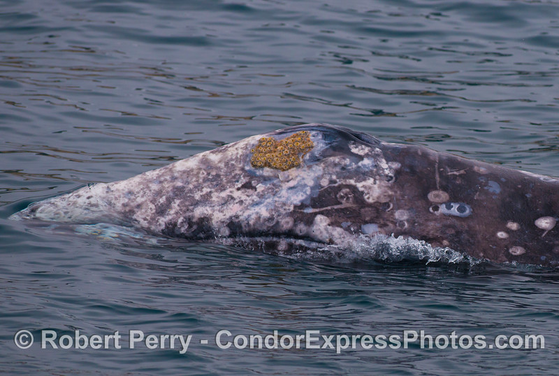 Rostrum and left side of a gray whale's head (<em>Eschrichtius robustus</em>).  Barnacles and scars from barnacles can be seen, and the edge of the mouth is visible.  This was an exceptionally friendly approach to the boat by this whale.