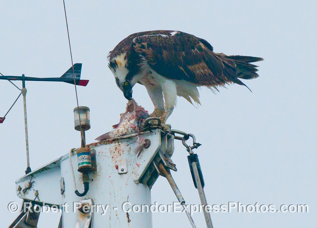 (1 of 2) An osprey (<em>Pandion haliaetus</em>), sometimes called a sea hawk or sea eagle, is photographed feeding on a large fish atop the masthead of a sailboat in Santa Barbara Harbor.