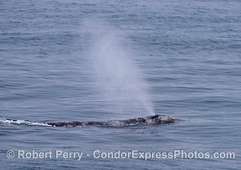 A gray whale (<em>Eschrichtius robustus</em>) sends up a tall spout.