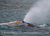 2013 04-04 SB Coast : An osprey feeds on a big fish, a great gray whale heads north, and some sea lions have fun.