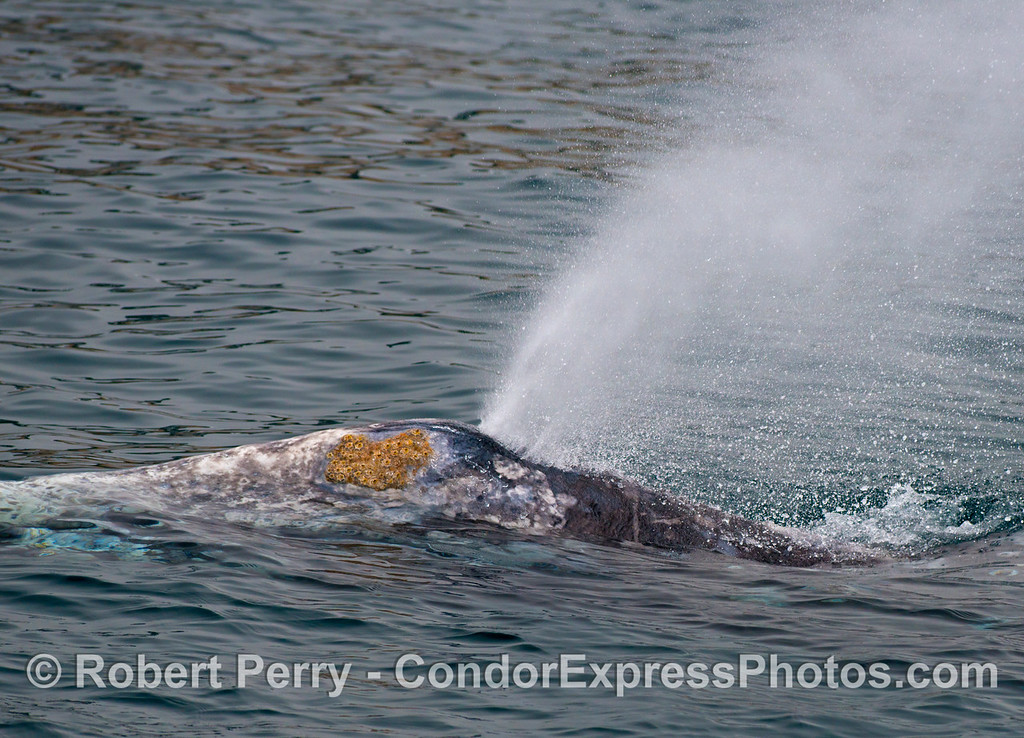 A very friendly gray whale (<em>Eschrichtius robustus</em>) swims alongside the Condor and sends up a magnificent spout.