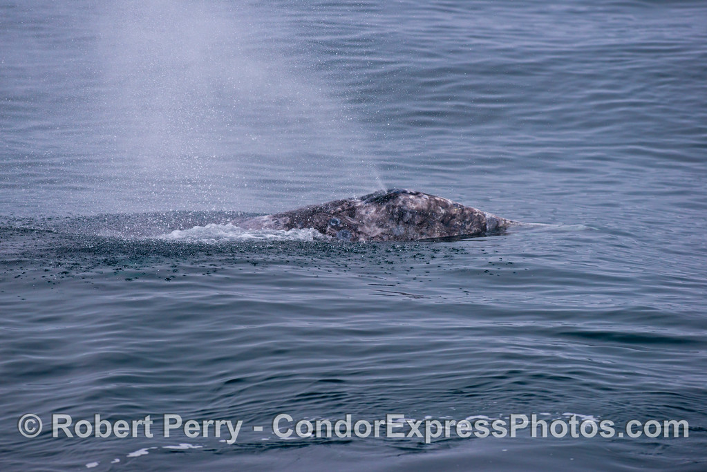 "A special ""rain"" is captured falling around this gray whale (<em>Eschrichtius robustus</em>) as the drops of water from its spout hit the blue ocean."