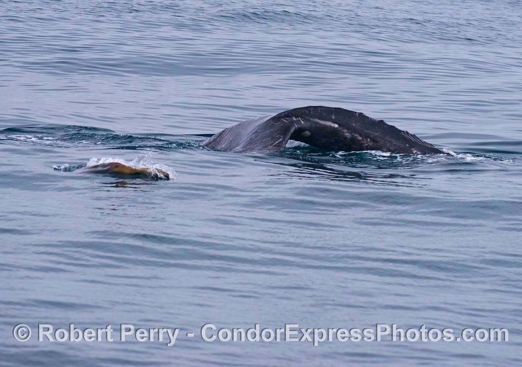 A gray whale (<em>Eschrichtius robustus</em>) begins a deeper dive as its furry brown friend, a California sea lion (<em>Zalophus californianus</em>), keeps it company.  The sea lion followed this whale for nearly an hour and a half.