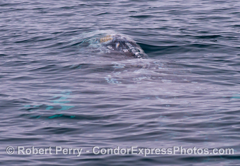 (2 of 3) Semi-abstract underwater view of a migrating gray whale (<em>Eschrichtius robustus</em>).