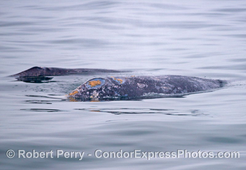 Gray whale mother and her calf (<em>Eschrichtius robustus</em>).