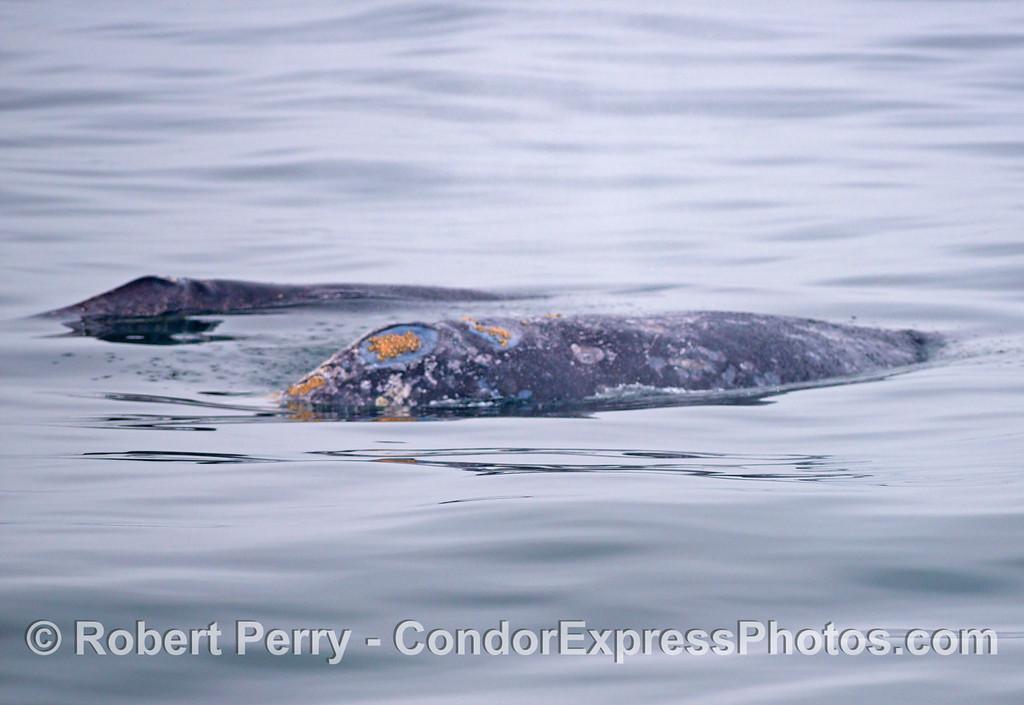 Gray whale mother and her calf (<em>Eschrichtius robustus</em>).
