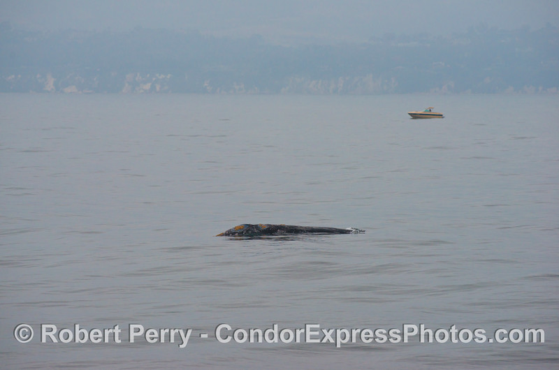 A gray whale (<em>Eschrichtius robustus</em>) with a small boat nearby.