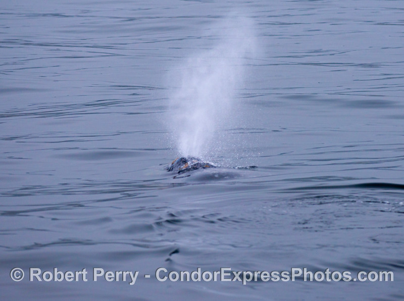 A gray whale (<em>Eschrichtius robustus</em>) sends up a nice spout on a glassy day.