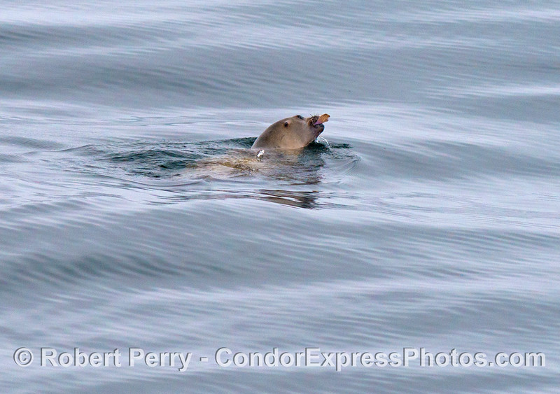 Lunchtime for a California sea lion (<em>Zalophus californianus</em>) - seen devouring a small flatfish.