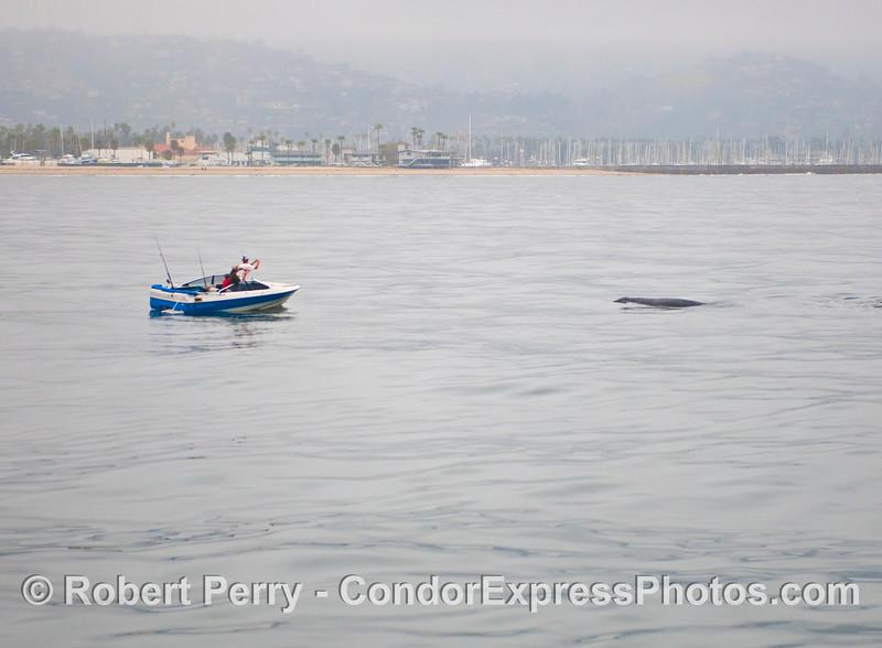 A gray whale (<em>Eschrichtius robustus</em>) poses for a picture.