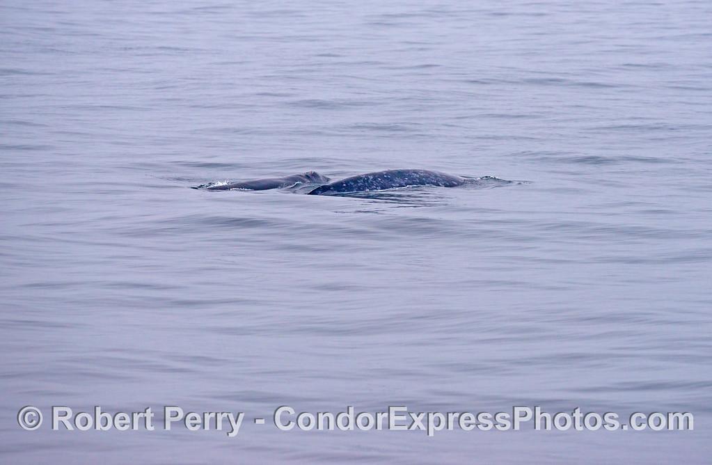 A gray whale (<em>Eschrichtius robustus</em>) mother and calf.
