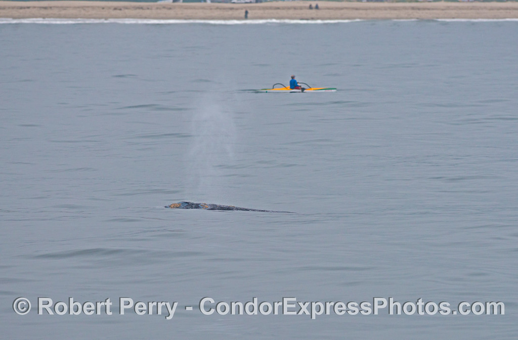 A gray whale (<em>Eschrichtius robustus</em>) near the Santa Barbara coast with a kayak or paddle cat nearby.