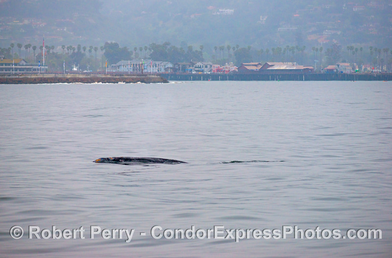 A gray whale (<em>Eschrichtius robustus</em>) seen with the Santa Barbara Harbor breakwall and Stern's Wharf in the background.