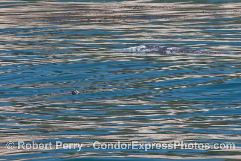 A curious Pacific harbor seal (<em>Phoca vitulina</em>) keeps an eye on a migrating gray whale (<em>Eschrichtius robustus</em>).
