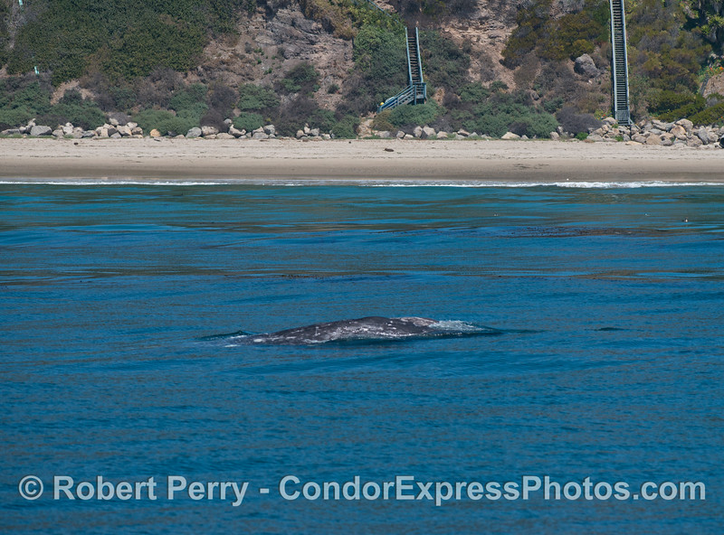 A gray whale (<em>Eschrichtius robustus</em>) with stairs to the beach in back.  C'mon down and see the whales!