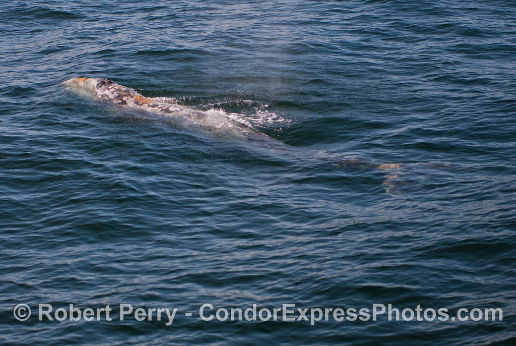 The whole body of this 20-foot juvenile gray whale (<em>Eschrichtius robustus</em>) is visible.