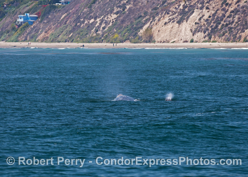 Mother (left) and her calf (spouting to the right) - gray whales (<em>Eschrichtius robustus</em>).