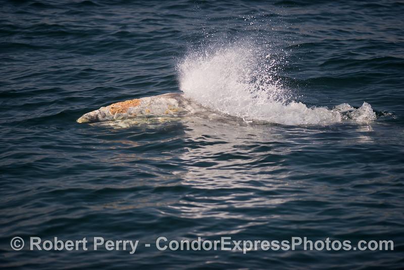 A spout that is just beginning - a gray whale (<em>Eschrichtius robustus</em>).