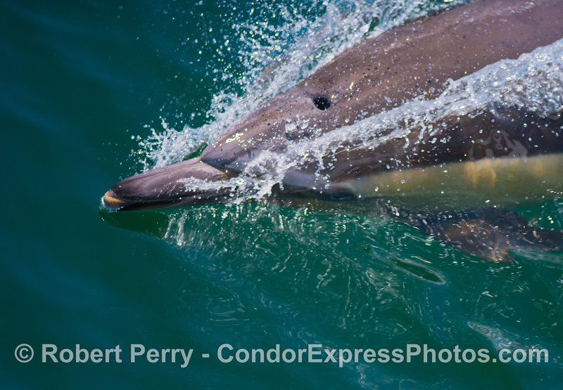 A long beaked common dolphin (<em>Delphinus capensis</em>) slashes through the glassy ocean surface.