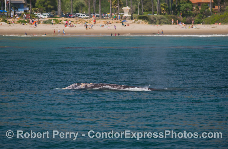 A popular beach is visited by a popular gray whale (Eschrichtius robustus).