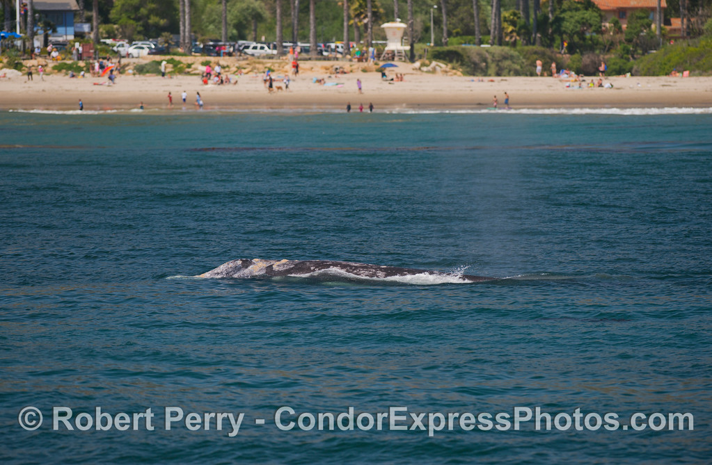 A popular beach is visited by a popular gray whale (<em>Eschrichtius robustus</em>).