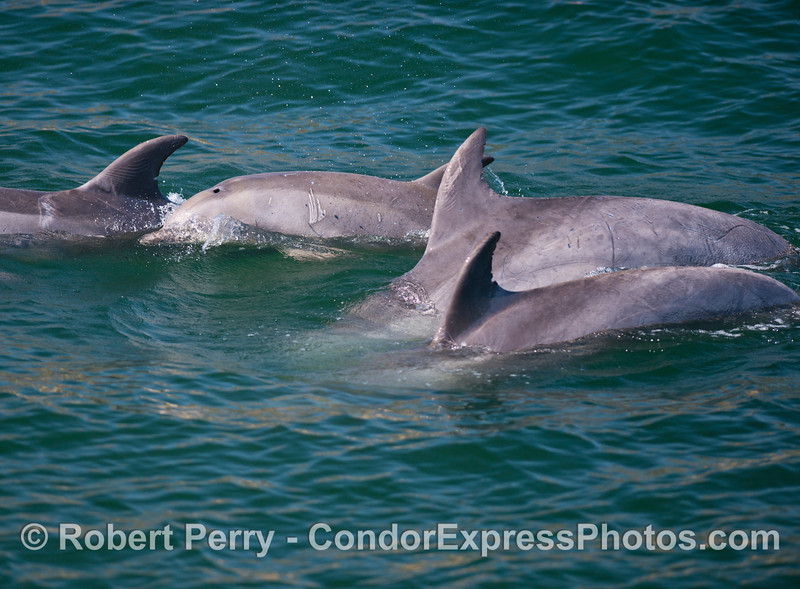 Four bottlenose dolphins (<em>Tursiops truncatus</em>) and the second one down is a juvenile.