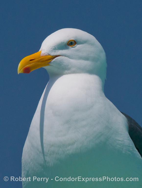 Portrait of a western gull (<em>Larus occidentalis</em>).