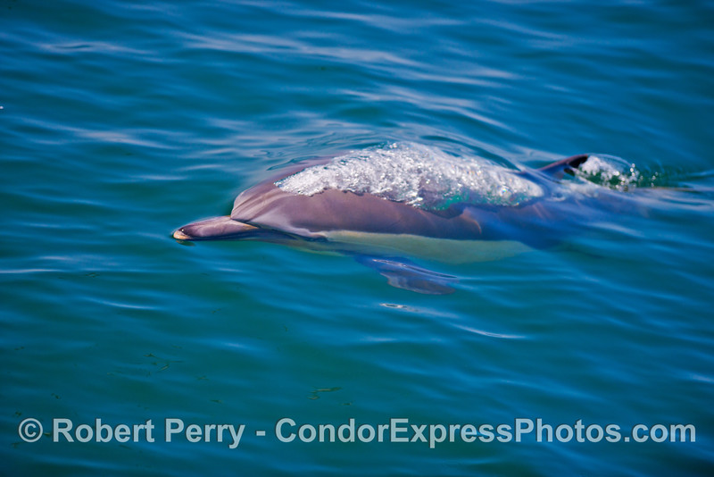 A common dolphin (<em>Delphinus capensis</em>) emits a bubble stream from its single blowhole.