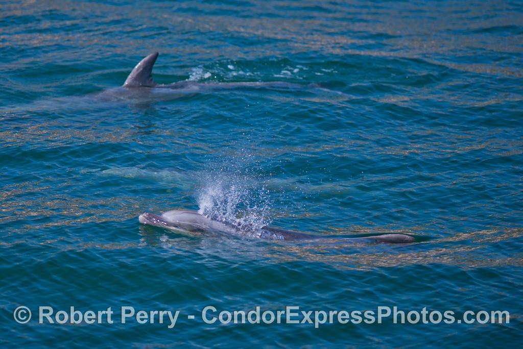 Bottlenose dolphins (<em>Tursiops truncatus</em>).