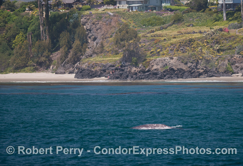 A gray whale (<em>Eschrichtius robustus</em>) near the shore.