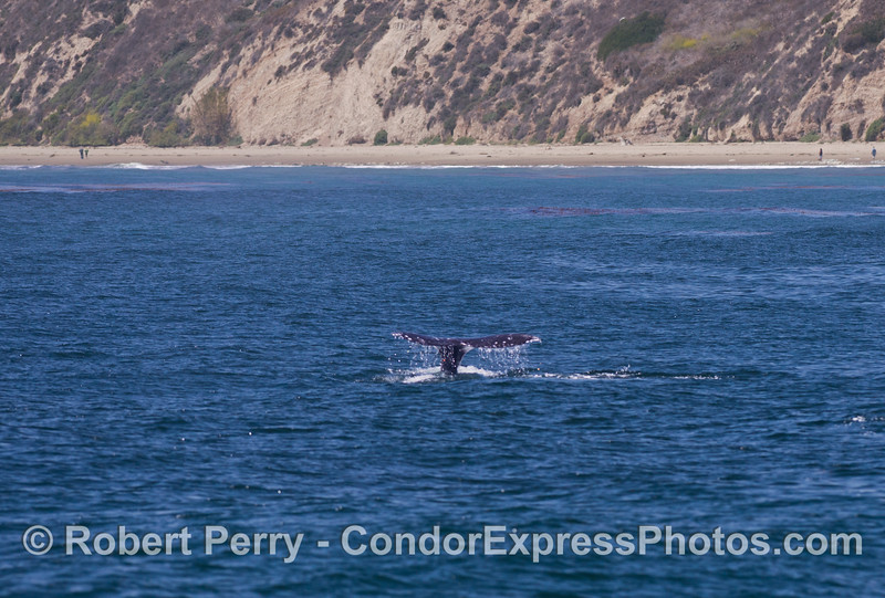 (image 1 of 2) A gray whale (<em>Eschrichtius robustus</em>) flukes up!