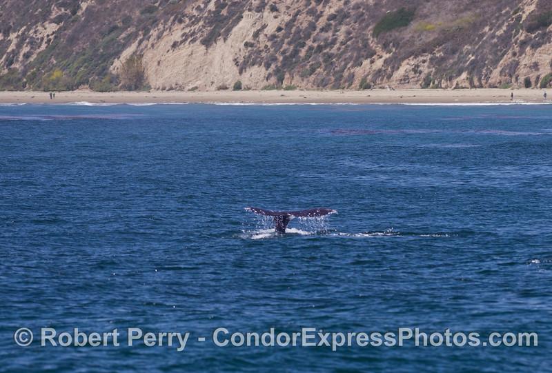 (image 1 of 2) A gray whale (<em>Eschrichtius robustus</em>) flukes up!