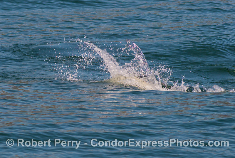 The spray sent up by a feeding common dolphin (<em>Delphinus capensis</em>).