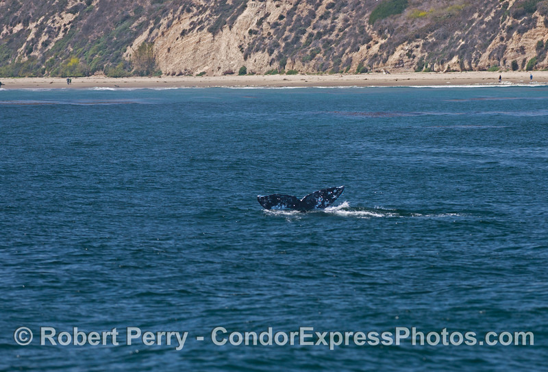 (image 2 of 2) A gray whale (<em>Eschrichtius robustus</em>) flukes up!