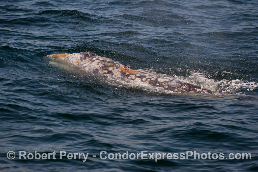 A gray whale (<em>Eschrichtius robustus</em>).