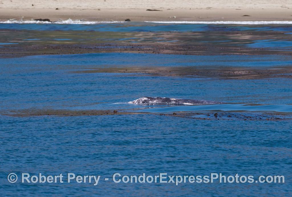 A gray whale (<em>Eschrichtius robustus</em>) in the giant kelp (<em>Macrocystis pyrifera</em>) near the beach.