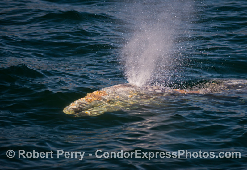 An extremely friendly gray whale (<em>Eschrichtius robustus</em>) approached the Condor...and spouted.