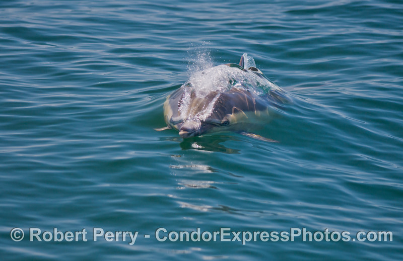 A common dolphin (<em>Delphinus capensis</em>) is seen heading directly for the camera lens.