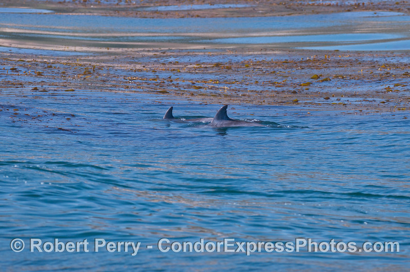 Two bottlenose dolphins (<em>Tursiops truncatus</em>) pass through a giant kelp bed (<em>Macrocystis</em>).