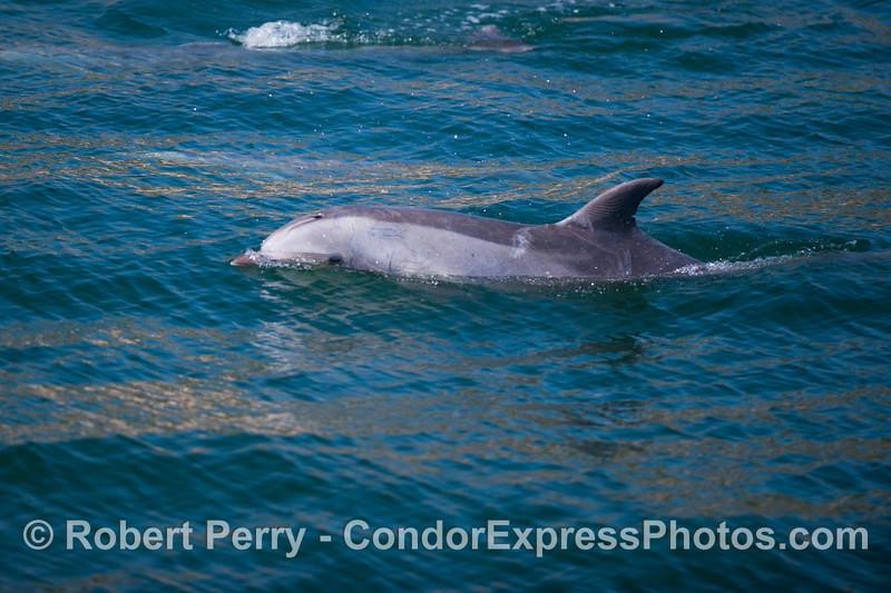A very young bottlenose dolphin (<em>Tursiops truncatus</em>).