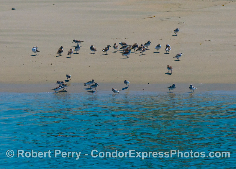 A flock of sanderlings (<em>Calidris alba</em>) relax on the beach.